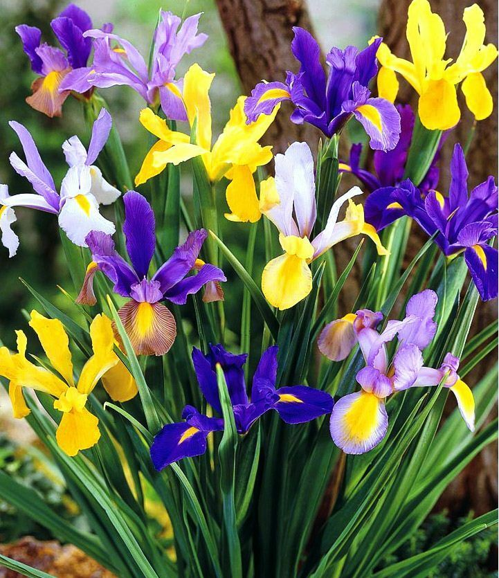15 mix mixed colour dutch iris spring garden bulb corm 4 summer beautiful flower ebay. Black Bedroom Furniture Sets. Home Design Ideas