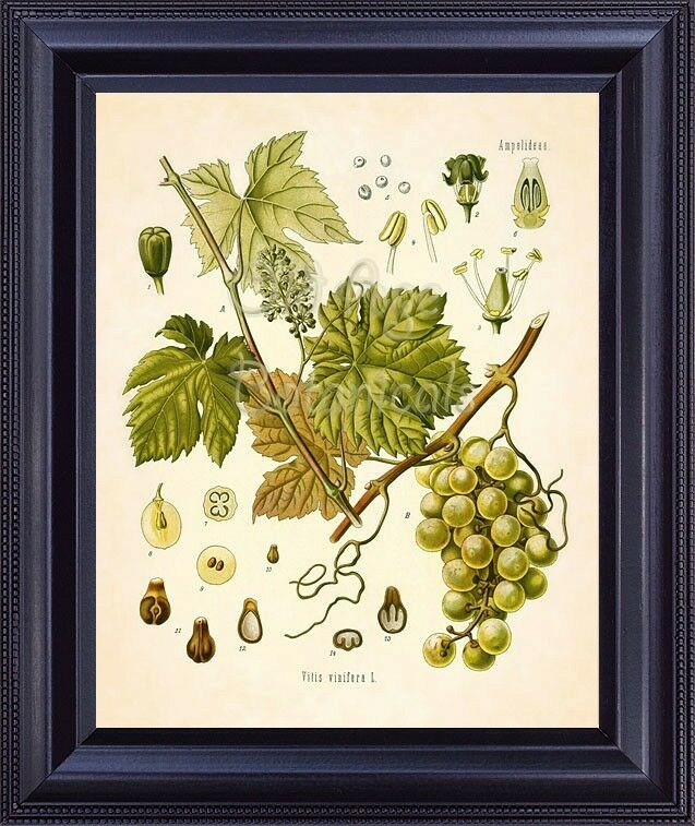 White Kitchen Wall Decor : Kohler botanical art print white grape wine fruit kitchen