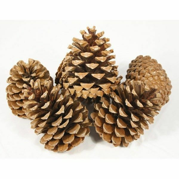 pine cones large heavy premium fir cone 14 18cm box of 10