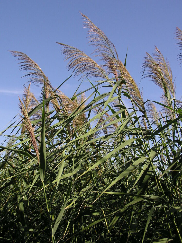 Phragmites australis (was communis) - Common Reed bare ...
