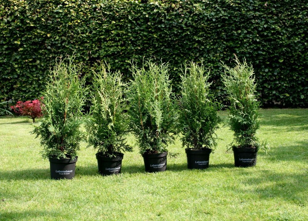5 thuja occidentalis 39 brabant 39 lebensbaum 60 70 cm im 3 liter topf heckenpflanze ebay. Black Bedroom Furniture Sets. Home Design Ideas