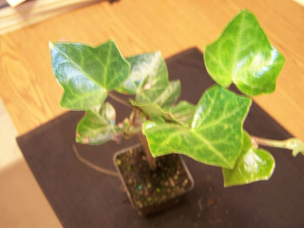 3 English Ivy Plants(Hedera Helix)(Fast Growing And