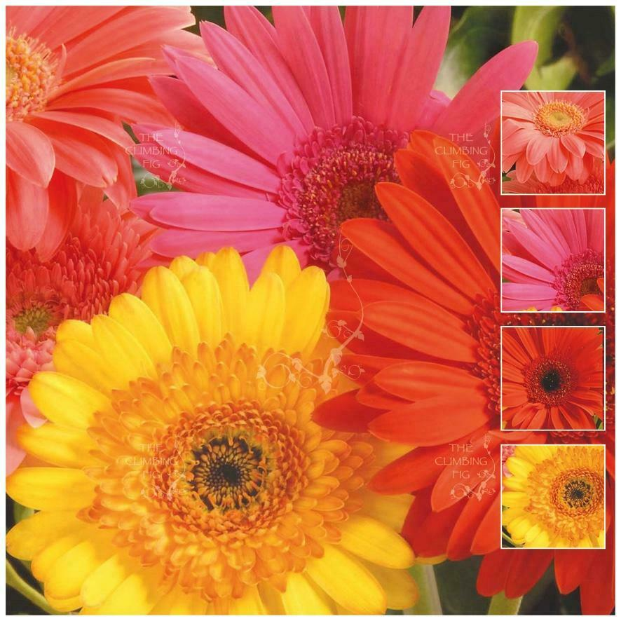 Gerbera jamesonii hybrid mix seeds large bright coloured daisy gerbera jamesonii hybrid mix seeds large bright coloured daisy like flowers ebay izmirmasajfo