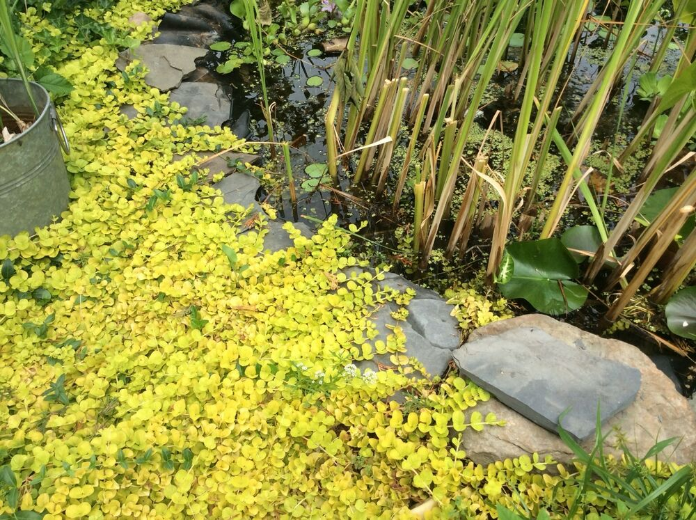 Pond creeping jenny koi pond plant aquatic plant cuttings for Water plants for koi pond