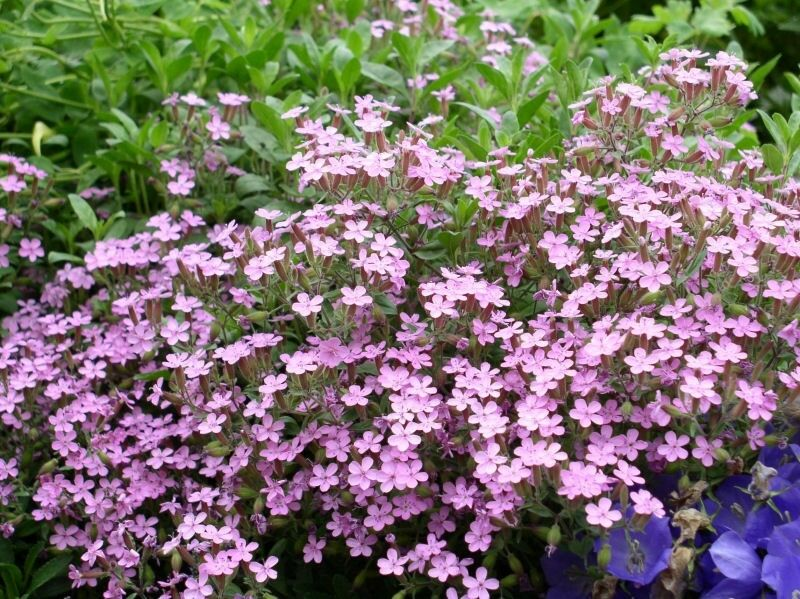Trailing soapwort pink saponaria officinalis perennial for Perennial ground cover with pink flowers