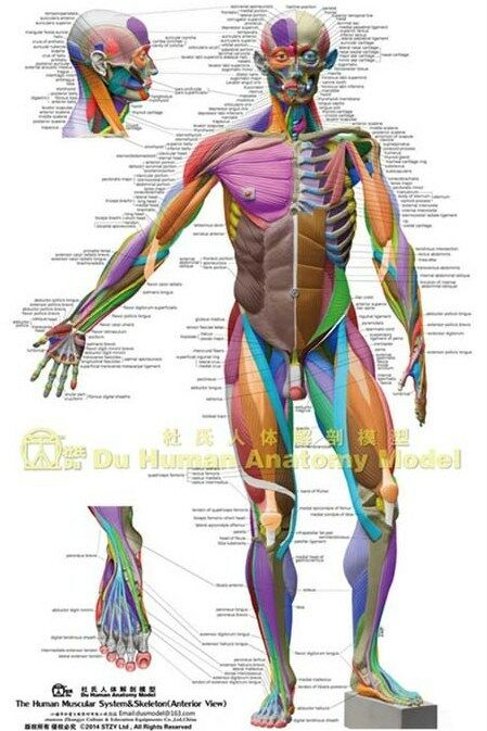 Muscular System Anatomical Chartcolored Ecorche Poster Anatomy