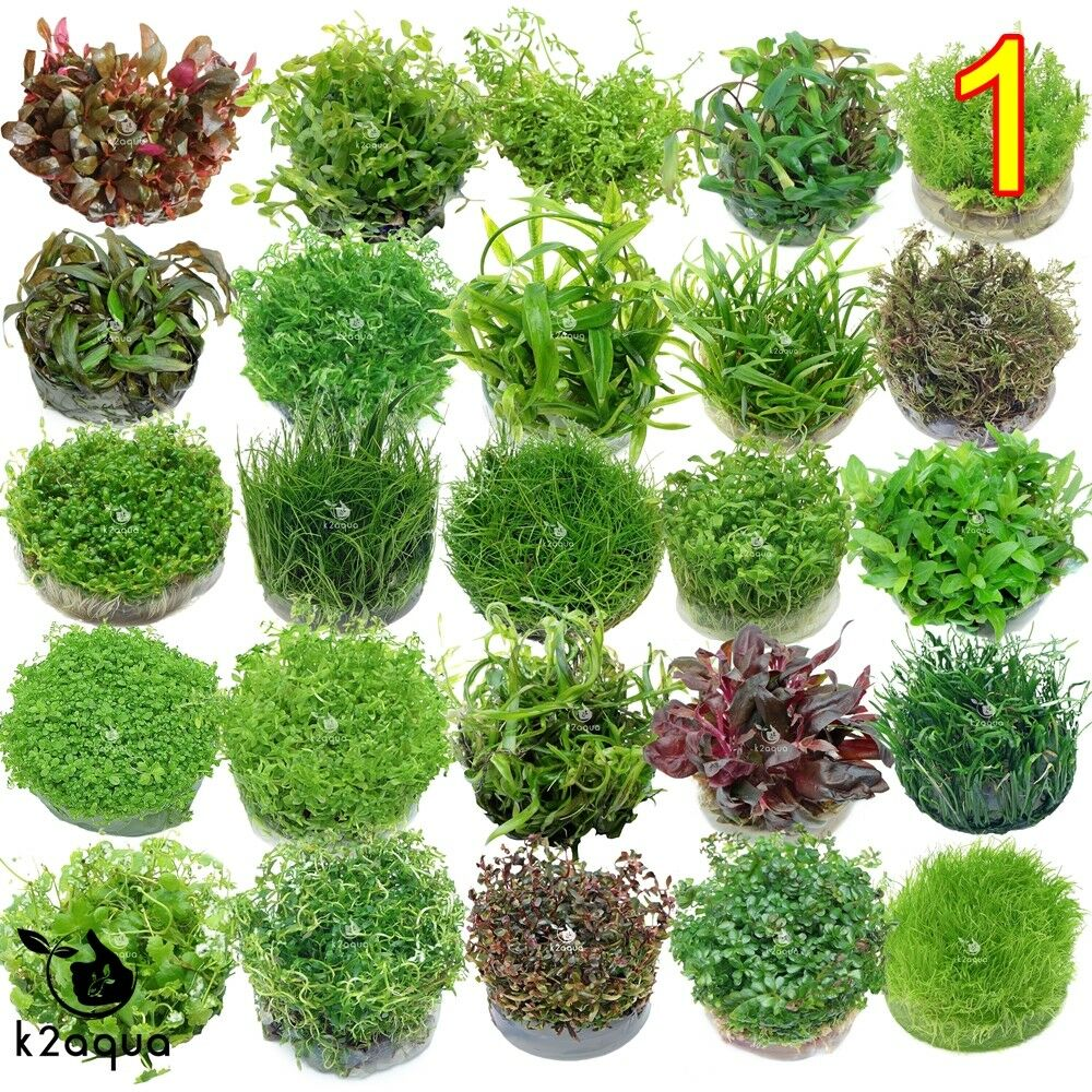 live aquarium plants in vitro aquatic tropical fish aquascaping carpet invitro ebay. Black Bedroom Furniture Sets. Home Design Ideas