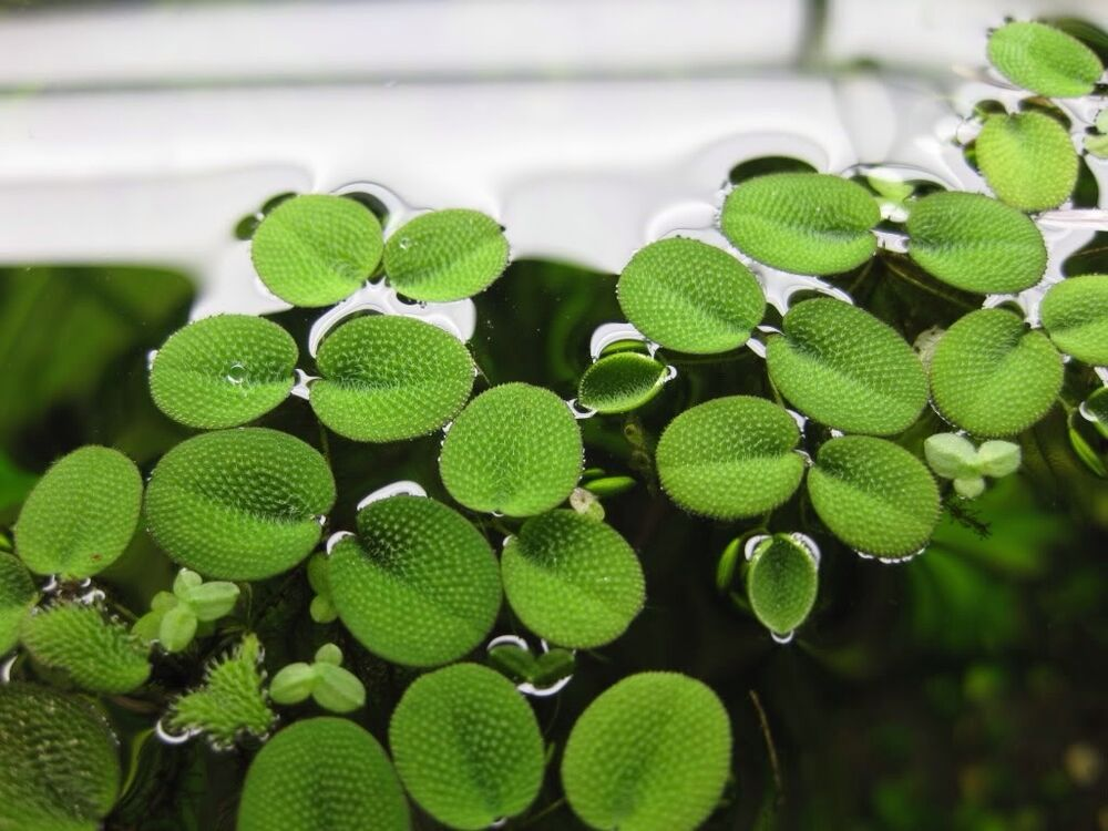 Floating plants salvinia spangles live aquarium pond for Floating pond plants