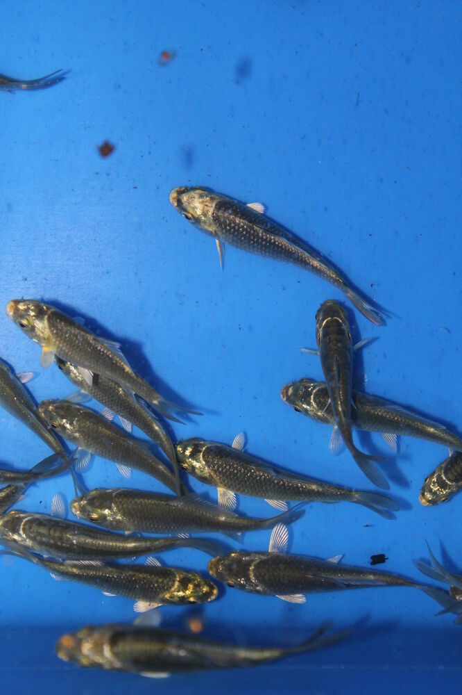 10 20 or 50 small ghost koi carp 5cm free delivery for Mini carpe koi