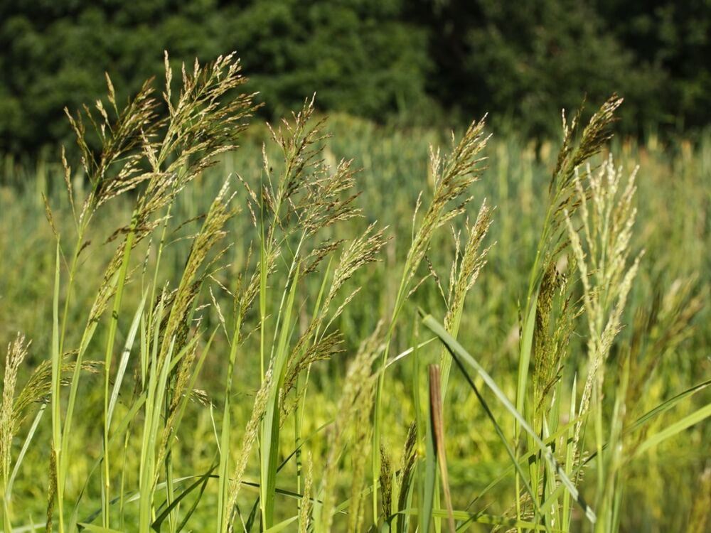 Glyceria maxima reed sweet grass bare root bog plant for Pond grass plants