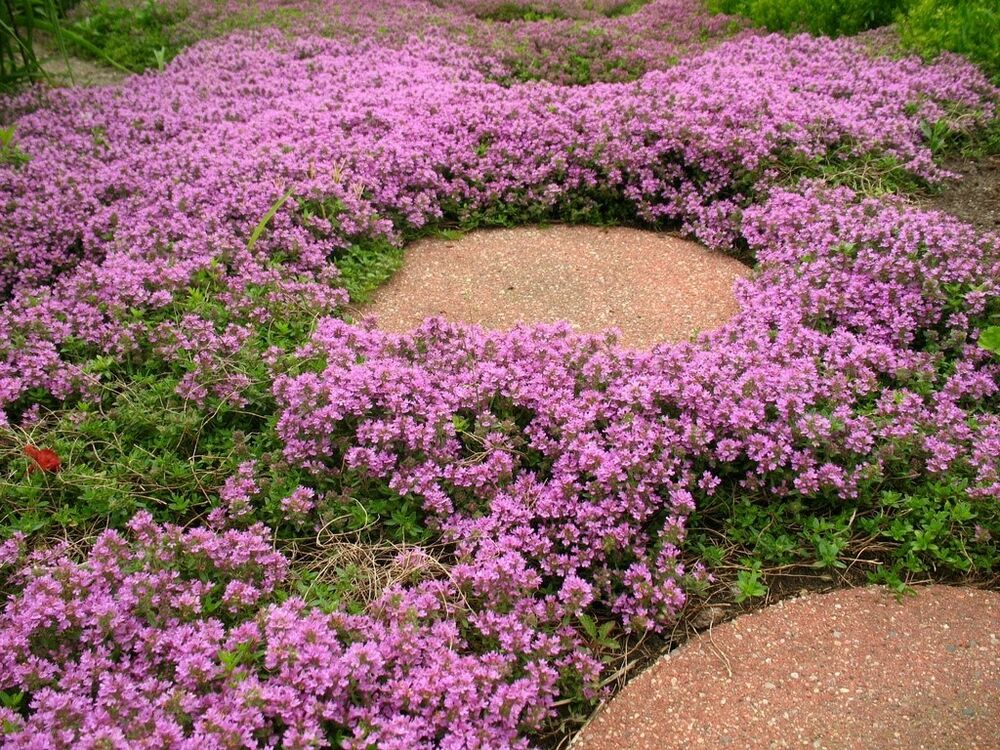 "~Creeping Tyme~ MOTHER OF TYME ""Thymus Serpyllum"" ~Pink ..."