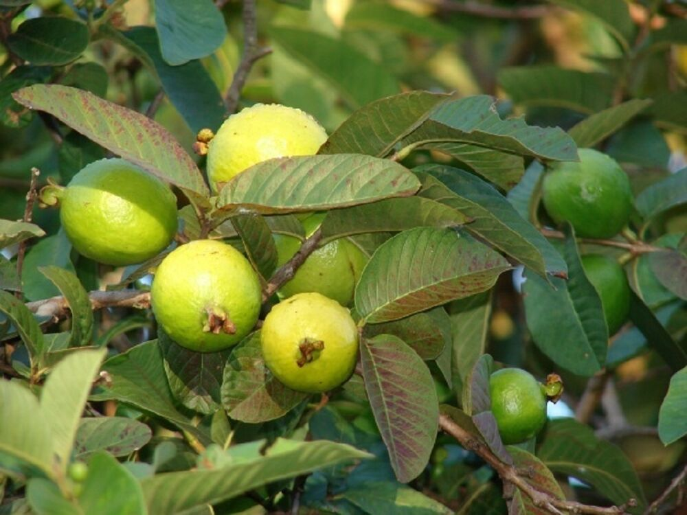 apple guava Tirunelveli: 'apple guava', a delicious variety with red skin like apple, procured from jain irrigation systems' nursery at jalgaon in maharashtra, has been tried here successfully when he .