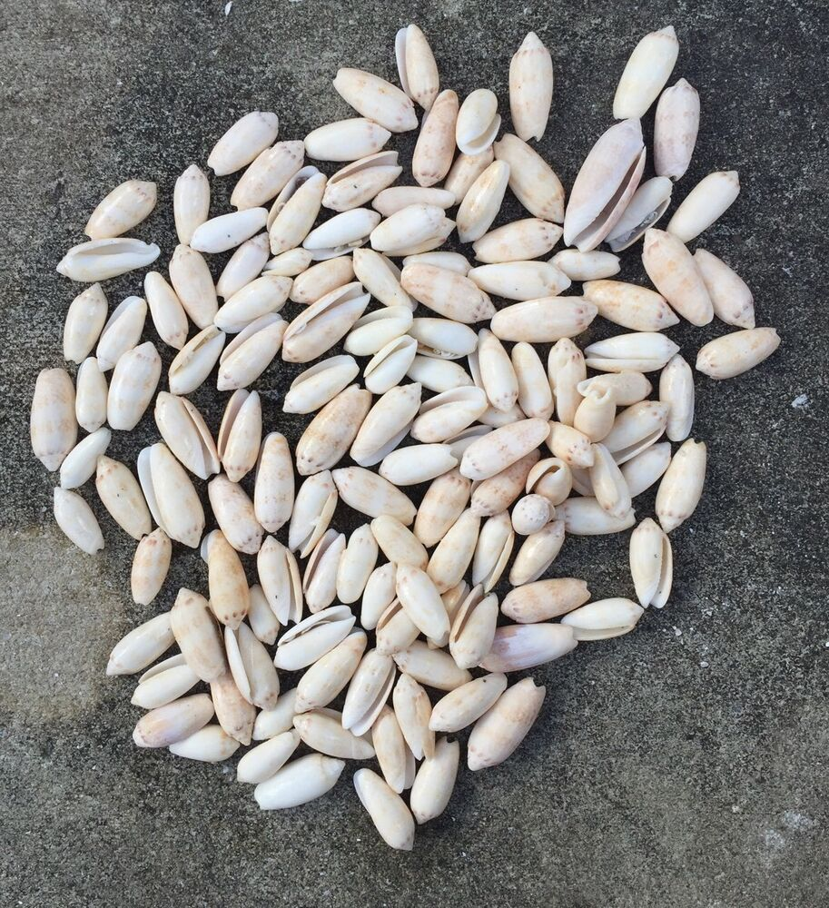 Large lot of white cowrie shells 1 3 shell crafts art for Large seashells for crafts