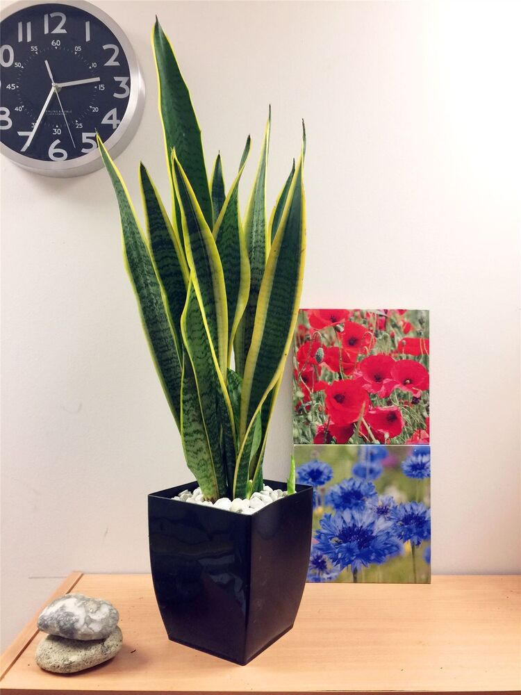 Pot Of Snake Plant Mother In Law 39 S Tongue Good Luck Evergreen Tree Indoor Office Ebay