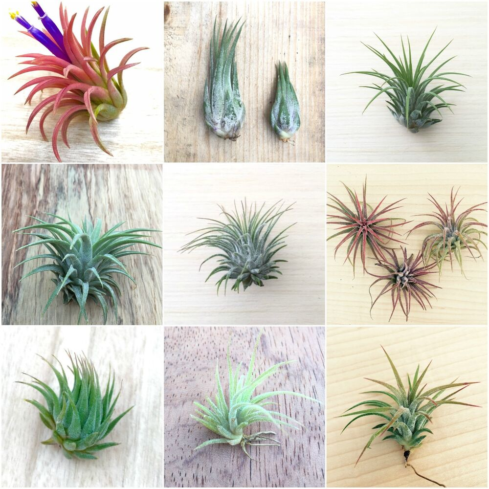 5 Pack Assorted Tillandsia IONANTHA Air Plants