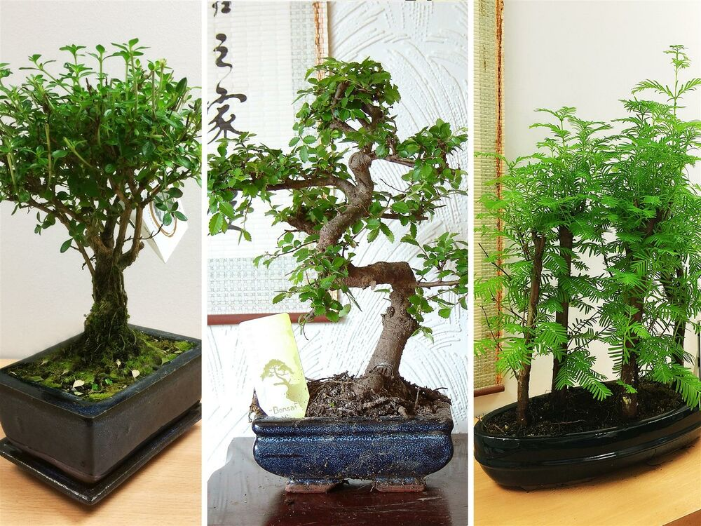 traditional bonsai tree pot zelkova sageretia chinese. Black Bedroom Furniture Sets. Home Design Ideas