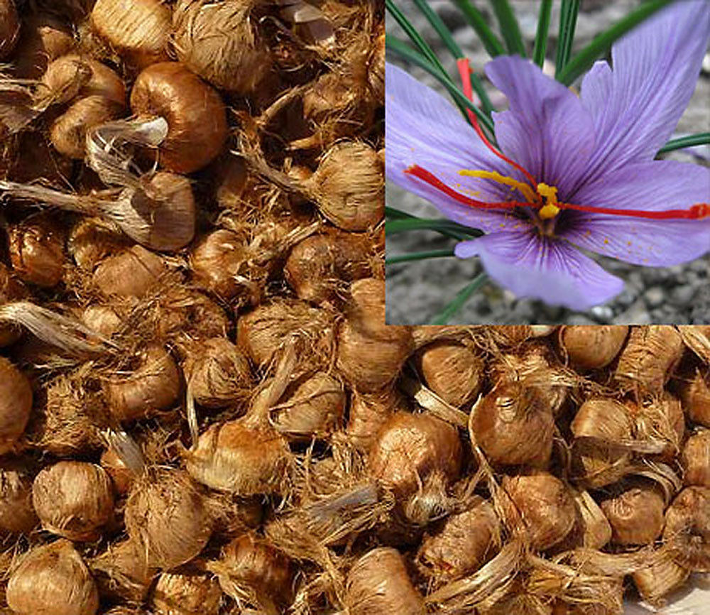 saffron bulbs 16 pcs preorder crocus sativus spice organic. Black Bedroom Furniture Sets. Home Design Ideas