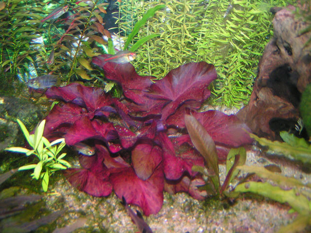 1 red nymphaea rubra lotus bulb live tropical aquarium for Growing plants in water with fish