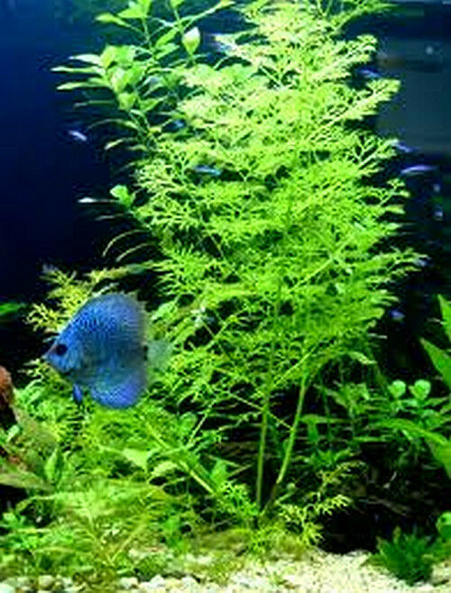 20 indian fern live plants aquarium fish tank plant for Live fish tank