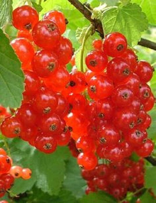 red currant perfection ribes rubrum red juicy fruit seeds ebay. Black Bedroom Furniture Sets. Home Design Ideas