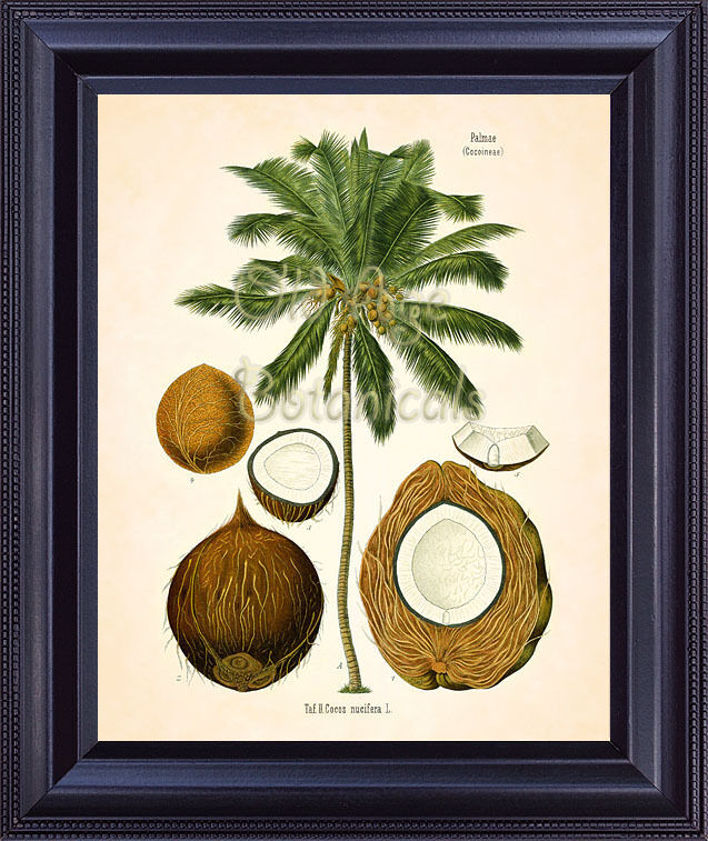 Kohler Botanical Print COCONUT PALM Tree Plant Kitchen