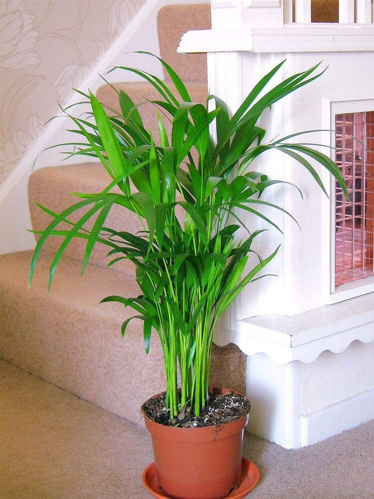 1 areca palm plant in pot cane palm indoor garden office for Pictures of areca palm plants