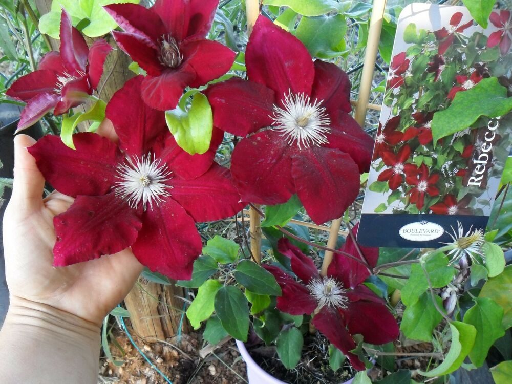 rare most beautiful unusual clematis clematis rebecca. Black Bedroom Furniture Sets. Home Design Ideas