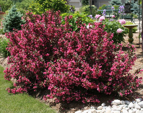 weigela pink weigela rosea shrub with pink blooms 1 cutting for you to root ebay. Black Bedroom Furniture Sets. Home Design Ideas