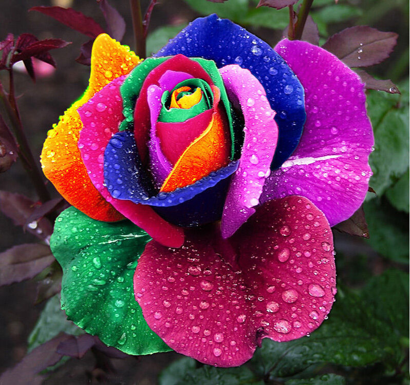 200pcs colorful rainbow rose flower seeds home garden for How to color roses rainbow
