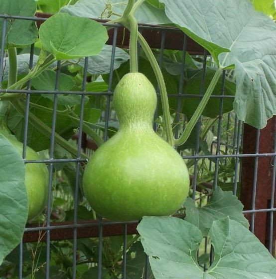 10 seeds birdhouse gourd bottle heirloom fresh beautiful for Where to buy gourds for crafts