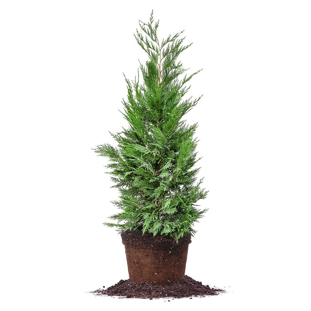Leyland cypress live plant size 5 6 ft ebay for In a garden 26 trees are planted