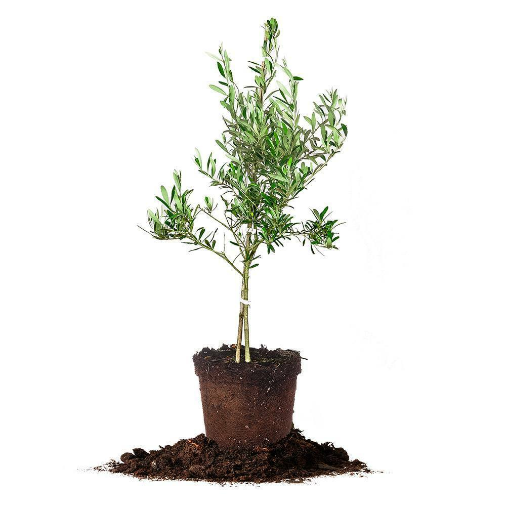 Arbequina olive tree live plant size 2 3 ft ebay for Growing olive tree indoors