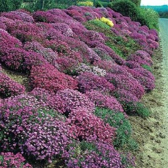 Low Growing Ground Cover: ROCKCRESS 'Aubrieta' ~Cascade Mix~ Dwarf Ground Cover 25