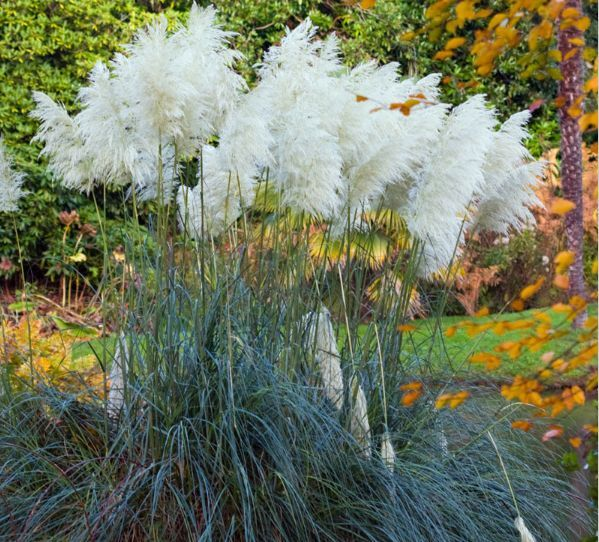 rare white pampas grass seeds ornamental plant seeds uk. Black Bedroom Furniture Sets. Home Design Ideas