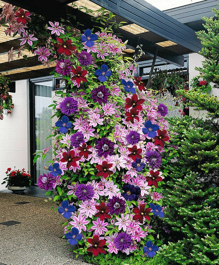 clematis mixed colors wonderful large blooms 20 perennial vine seeds ebay. Black Bedroom Furniture Sets. Home Design Ideas