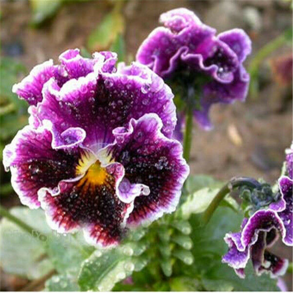 Wave Pansy Flower Blooming Almost Year Round Flower Seeds