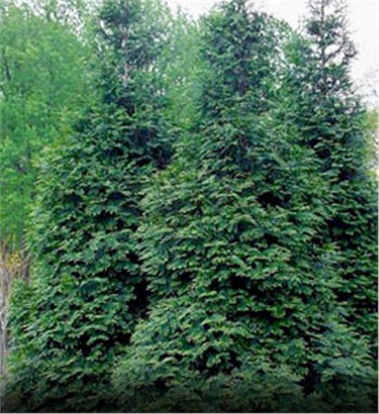 10 green giant arborvitae plants thuja green giant ebay for Green giant arborvitae