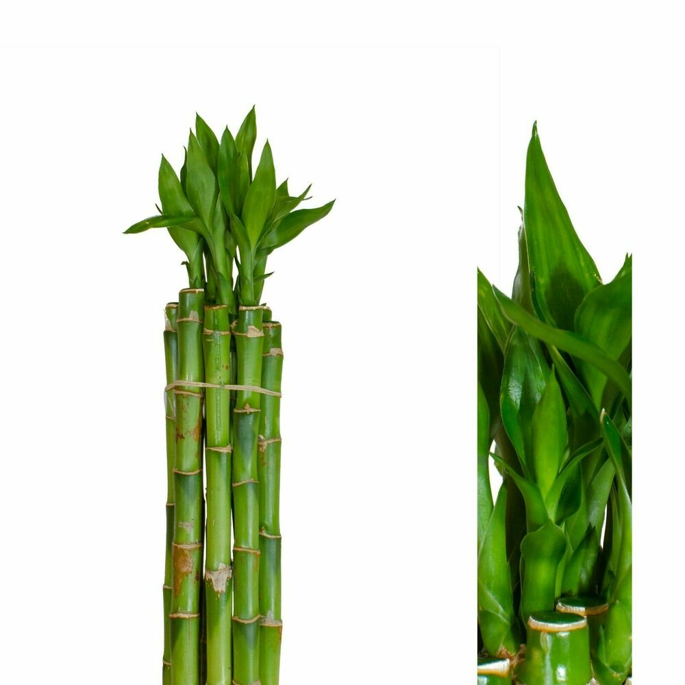 5st ck lucky bamboo gl cksbambus dracaena sanderiana 60cm. Black Bedroom Furniture Sets. Home Design Ideas