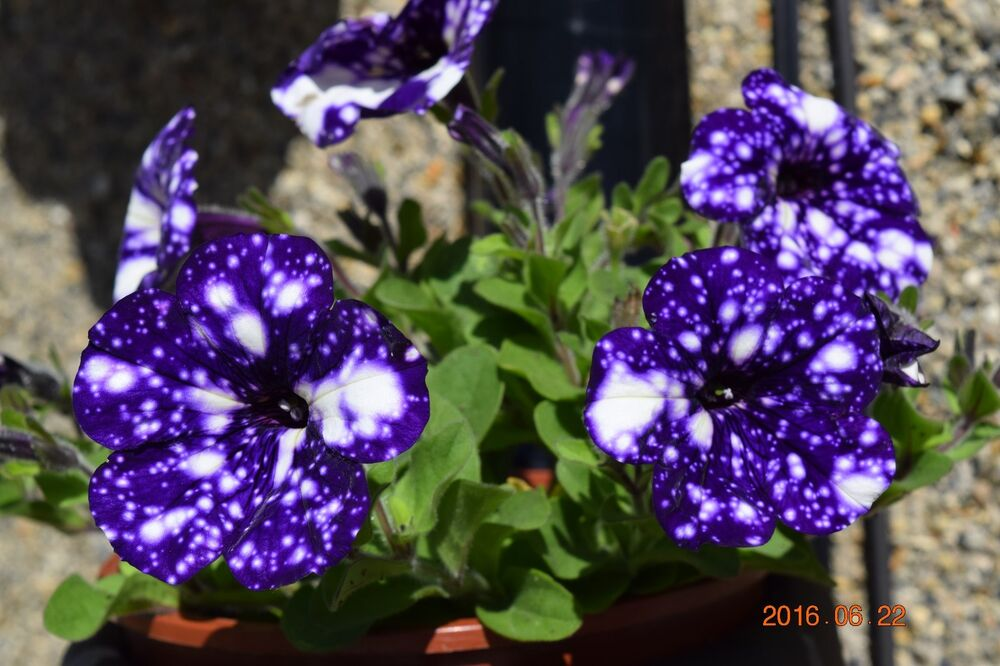 petunia 39 night sky 39 15 quality fresh seeds first seeds on the market ebay. Black Bedroom Furniture Sets. Home Design Ideas