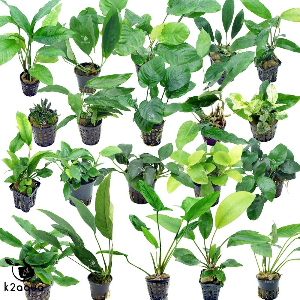 Anubias Species Live Aquarium Plants Tropical Fish Tank Aquascape Tank Co2 Eu Ebay