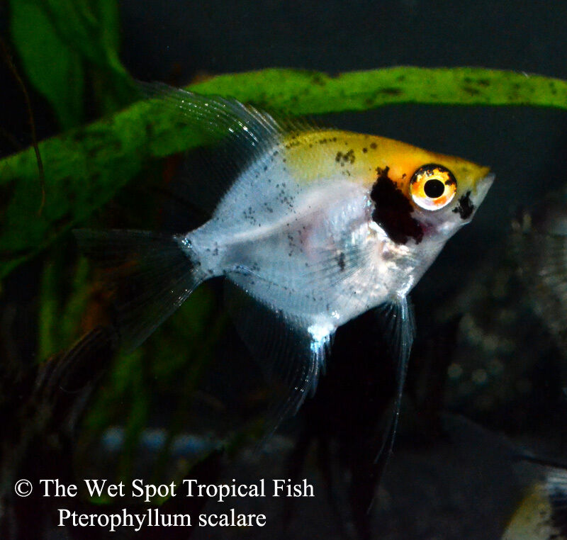 6 small assorted angelfish pterophyllum scalare for Buy tropical fish online