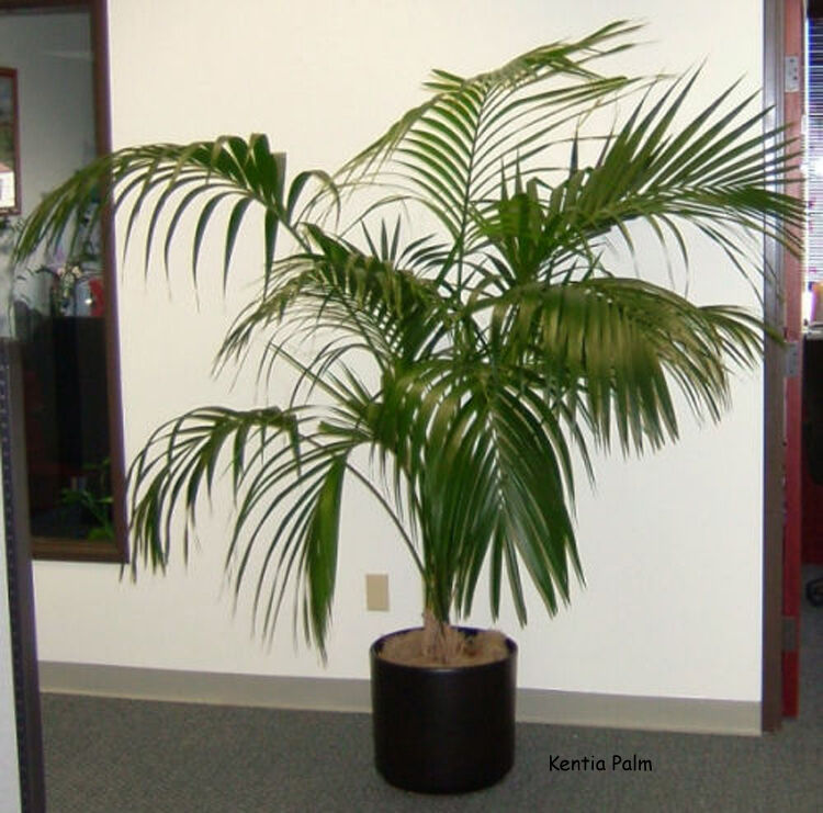 one of the best indoor plant kentia palm howea forsteriana 10 finest seeds ebay. Black Bedroom Furniture Sets. Home Design Ideas