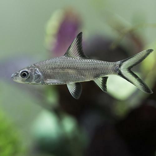 Live tropical aquarium fish for sale silver sharks ebay for Aquarium fish for sale online