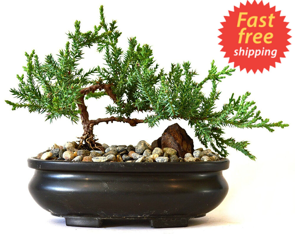 Bonsai Tree Zen Juniper Little Live Nature Japanese Pot ...