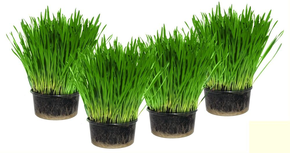 how to grow grass indoors