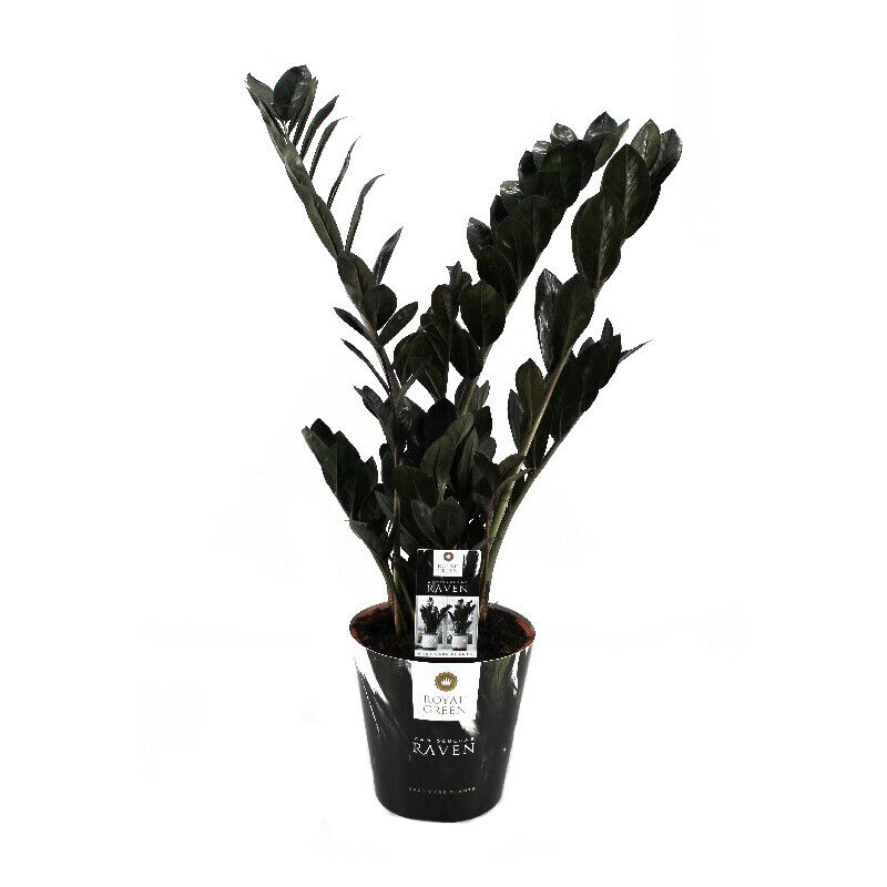 zamioculcas raven black zamio palme zamio farn 17cm. Black Bedroom Furniture Sets. Home Design Ideas