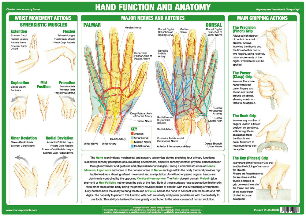 Hand Function Anatomy Poster Muscles Tendons Bones Chartex Joint