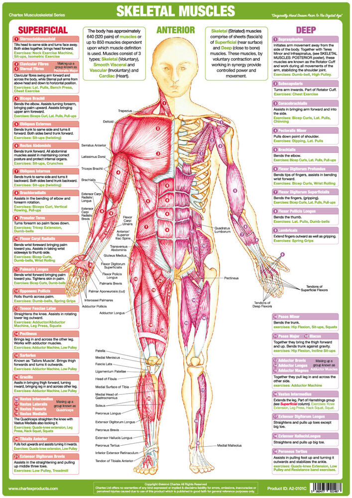 Fitness Body Building Muscle Anatomy Poster Anterior Skeletal Muscle