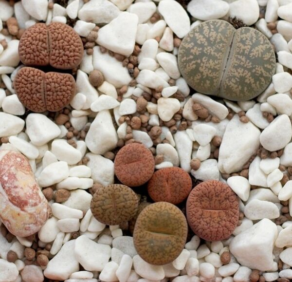 Living Stones, semi di Pebble Plant - Lithops sp. - 50 semi