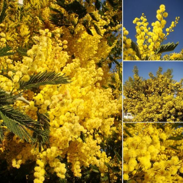 Silver Wattle, Yellow Mimosa, ACACIA DEALBATA, flowering tree, silvery foliage